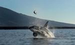 虎鲸将海龟抛向空中玩耍