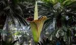 世界最大花朵在日本盛开 气味奇葩如腐肉