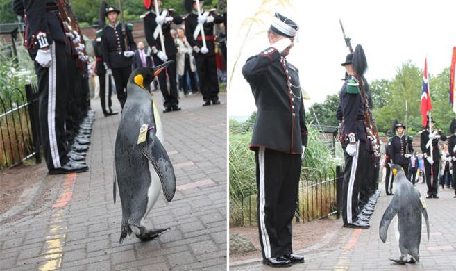 """爱丁堡动物园帝企鹅""""检阅""""挪威国王卫队"""