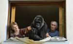 法国夫妇抚养大猩猩18年 感情深厚如亲生子