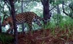 黑龙江拍到新东北豹活动图像 系极度濒危动物