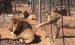 秘鲁一对狮子父女重逢 场面温馨有爱