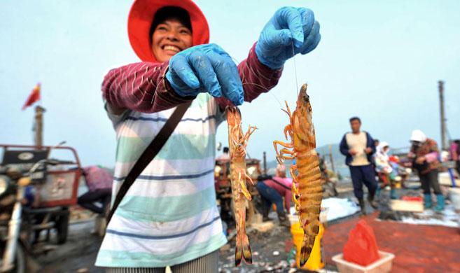 青岛开海季海捕对虾论只卖售价8元