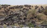 肯尼亚角马迁徙场面震撼