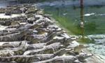 非洲兴起养鳄鱼:八成端上中国餐桌 利润超100%