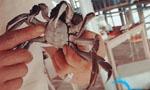 南太湖毛脚蟹开捕 黄多油满品质好