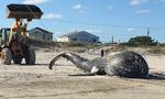 美国东海岸海滩惊现20吨重座头鲸尸体 死因不明