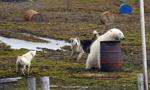 俄5名科学家被12只饥饿北极熊围困 现场照曝光