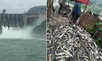 水电站泄洪 万吨鲟鱼逃逸
