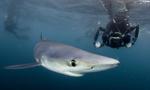 数只大青鲨现身英国康沃尔海岸捕食