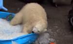 北极熊动物园冰池内快乐翻滚