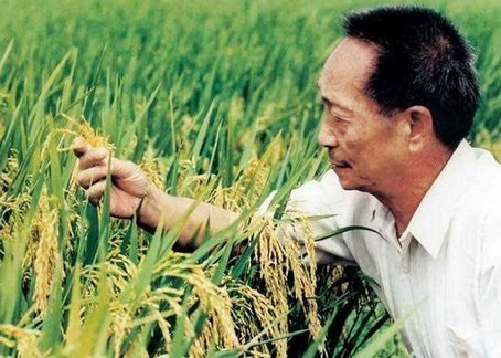 再创纪录 袁隆平超级稻高纬度实验亩产超千公斤