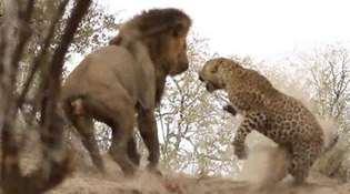 猛兽对决!狮子偷袭酣睡豹子瞬间