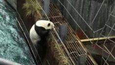 野生大熊猫误入水电站落水