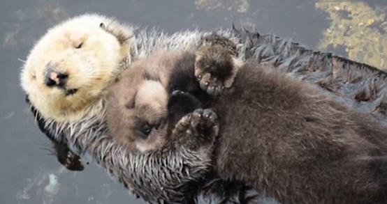 美水族馆母海獭紧抱幼崽水面漂浮