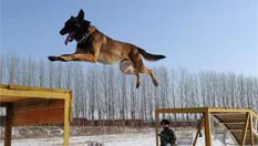 搜救犬雪中训练场上展绝技