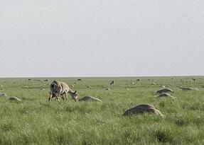 震撼:哈萨克斯坦15万头鼻羚羊3天内集体死亡