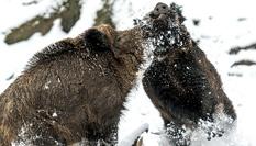德国两野猪冰天雪地上演打斗决战