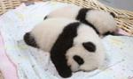 上海首对大熊猫龙凤胎与游客见面