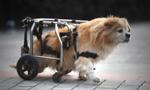 """重庆街头""""狗坚强"""" 半身残废靠轮椅行走"""