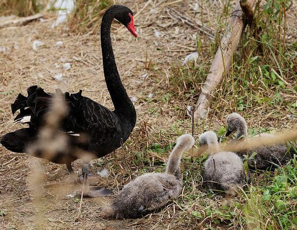 杭州湾湿地看黑天鹅