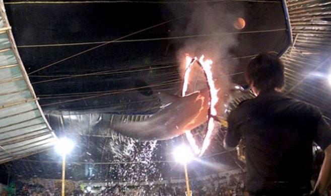 印尼马戏团逼海豚跳火圈
