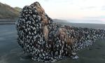 新西兰海滩惊现巨型藤壶覆盖体