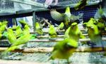 """南京""""鸟王""""诱捕252只野鸟受审 辩称自己不懂法"""