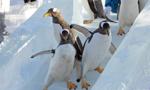 企鹅滑冰 东倒西歪