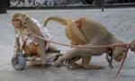 印度街头卖艺的猴子