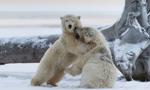 萌翻!阿拉斯加两北极熊崽打架嬉戏