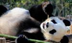 安徽黄山:大熊猫乐享冬日阳光