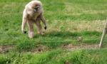 英猩猩初见刺猬表现害怕好奇惹人乐