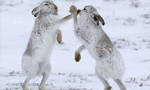 """兔子也会""""比武招亲"""" !雪地恶战酷似拳击赛"""