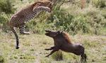 摄影师抓拍母豹飞身跃起捕食疣猪
