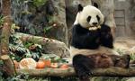 香港:大熊猫乐享新春大餐