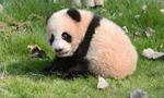上海野生动物园大熊猫母子突发重病死亡