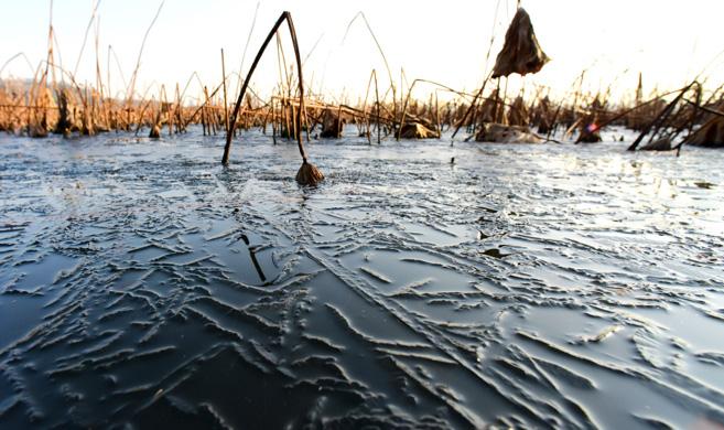 杭州:西湖荷塘结冰了