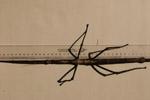 云南普洱现巨型竹节虫 体长超40公分