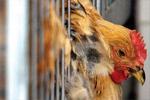 """网传""""禽流感致上万肉鸡""""死亡实为闷死的"""