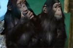 解救非法倒卖的黑猩猩