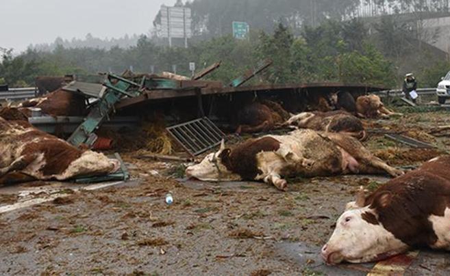 重庆一挂车高速路侧翻 48头牛被摔翻在地