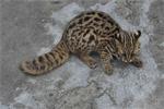 路遇野生动物 居民争论不休:猫?豹?