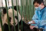 大熊猫9个月暴瘦60斤?兰州动物园再遭质疑