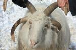 新疆昭苏县发现罕见四角羊