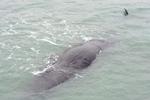 深圳搁浅抹香鲸已确认死亡