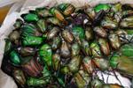 四川邮政口岸截获400余只昆虫标本