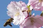 德国爱尔福特樱花盛开