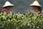 杭州西湖龙井茶全面开采