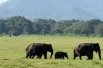 斯里兰卡国家公园的大象